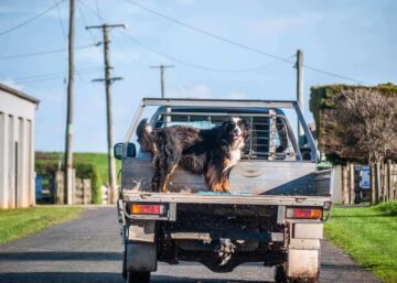 Truck oBernese Mountain Dog standing on a ute in the country.